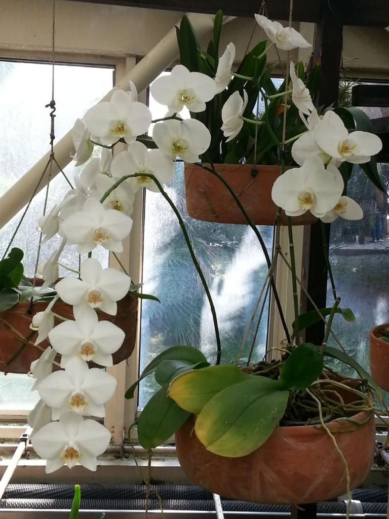 L'authentique et gracieuse orchidée blanche